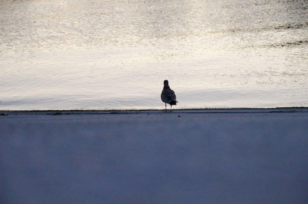 Devotional Sea Gull