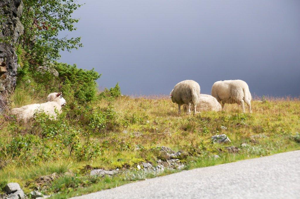 Norway Sheeps