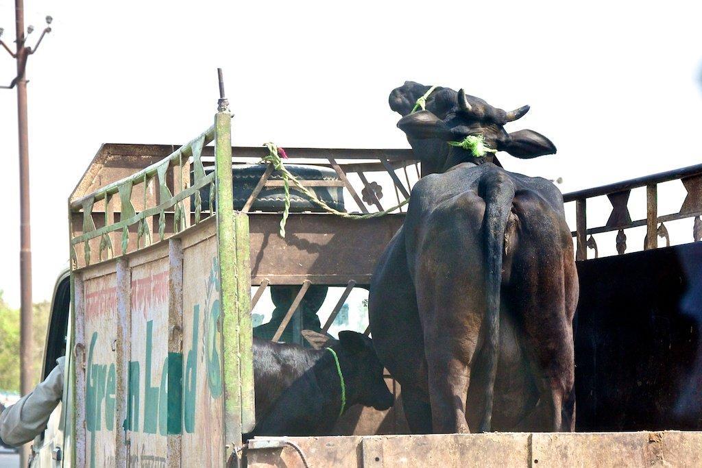 The Cow Cap