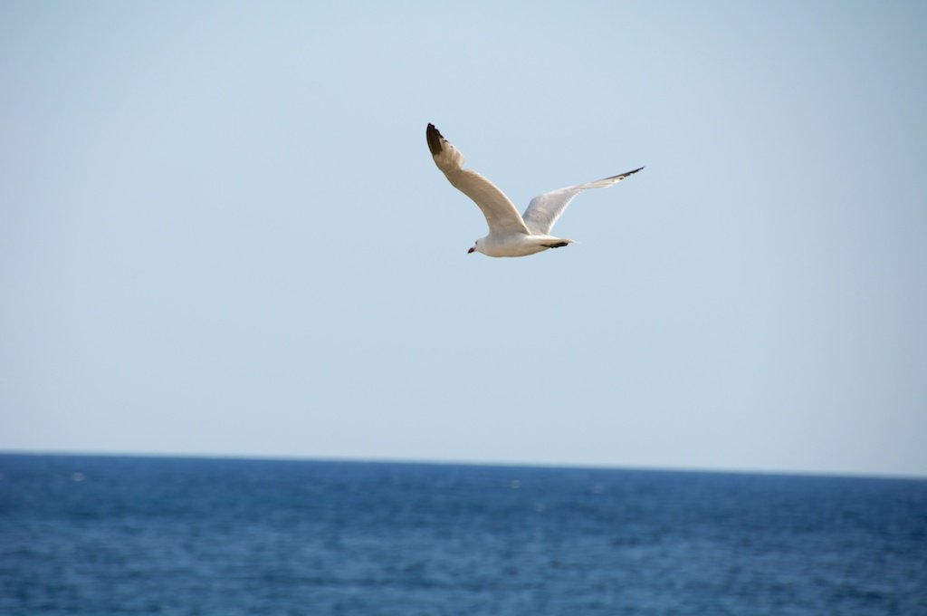 The Flying Sea Gull